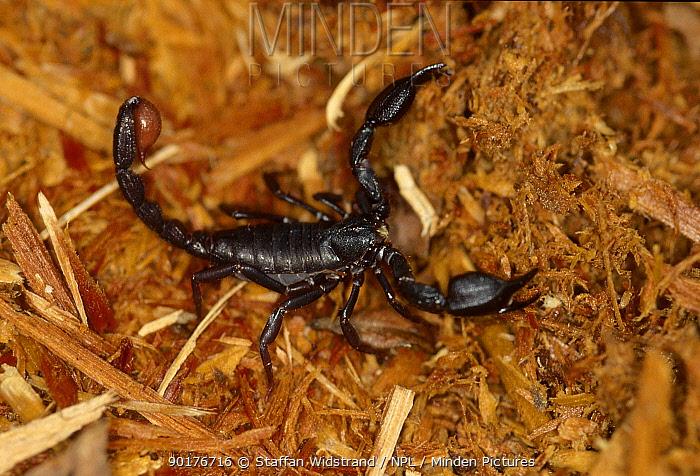 Black scorpion (Scorpiones) Manaus Amazonia Brazil  -  Staffan Widstrand/ npl