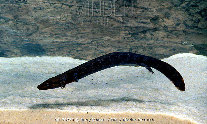 Neuse river waterdog (Necturus lewsi) C North Carolina USA  -  Barry Mansell/ npl