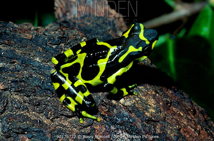 Harlequin frog (Atelopus various) Costa Rica  -  Barry Mansell/ npl