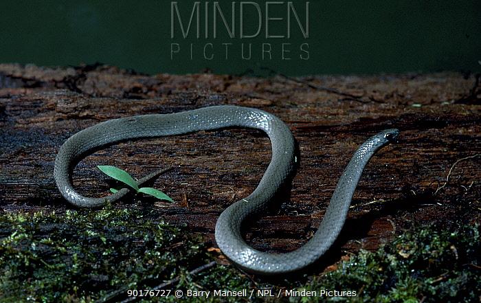 Eastern smooth earth snake (Virginia valeriae valeriae) Florida USA  -  Barry Mansell/ npl