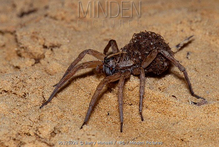 Wolf spider carrying young (Lycosa rabida) C Florida USA  -  Barry Mansell/ npl