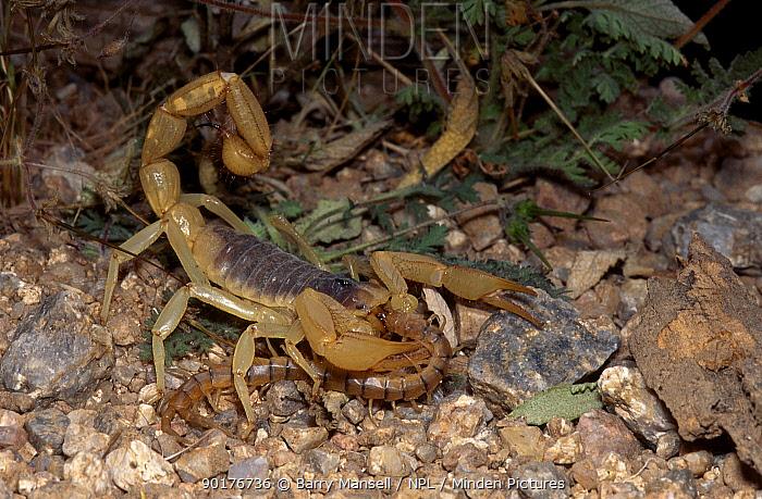Giant desert hairy scorpion feeds on centipede (Hadrurus arizonensis) Arizona USA  -  Barry Mansell/ npl