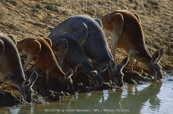 Group of Red kangaroos drinking at water (Macropus rufus) Sturt NP New South Wales Australia  -  Owen Newman/ npl