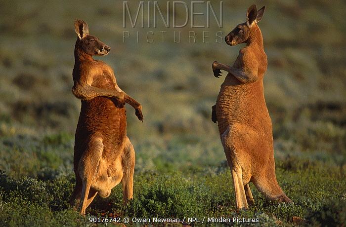 Male Red kangaroos about to fight (Macropus rufus) Sturt NP New South Wales Australia  -  Owen Newman/ npl
