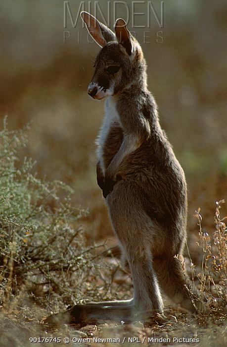 Red kangaroo joey portrait (Macropus rufus) Sturt NP New South Wales Australia  -  Owen Newman/ npl