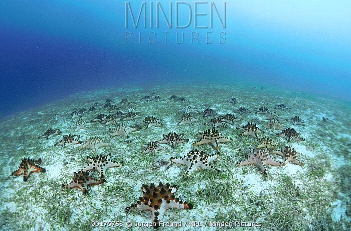 Sea stars on seabed with sea grass Indo-pacific  -  Jurgen Freund/ npl