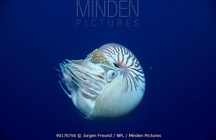 Pearly nautilus (Chambered) (Nautilius pompilus) Indo-pacifi  -  Jurgen Freund/ npl