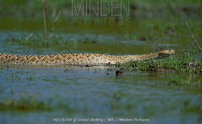 Western diamondback rattlesnake swimming (Crotalus atrox) Texas USA Rio Grande valley  -  David Welling/ npl