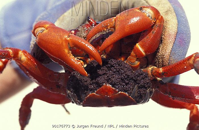 Christmas island red crab full of eggs (Gecarcoidea natalis)  -  Jurgen Freund/ npl