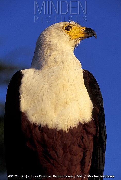 African fish eagle portrait (Haliaeetus vocifer) captive, Zimbabwe  -  John Downer/ npl