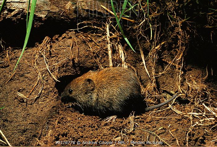 Bank vole entering burrow (Clethrionomys glareolus) Jersey, UK  -  Andrew Cooper/ npl