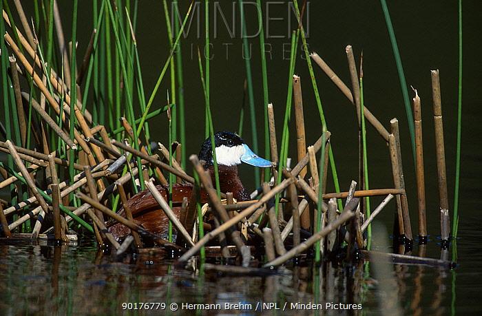 Male Ruddy duck in reeds (Oxyura jamaicensis) Yellowstone NP Wyoming USA  -  Hermann Brehm/ npl
