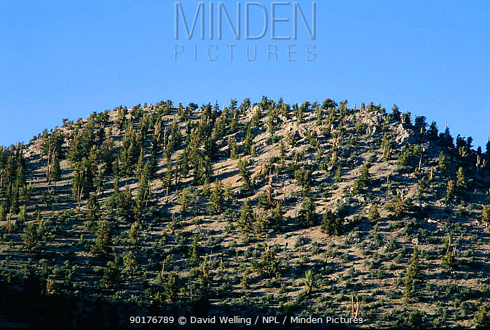 Ancient Bristlecone pine woodland (Pinus aristata) White Mountain, California USA  -  David Welling/ npl