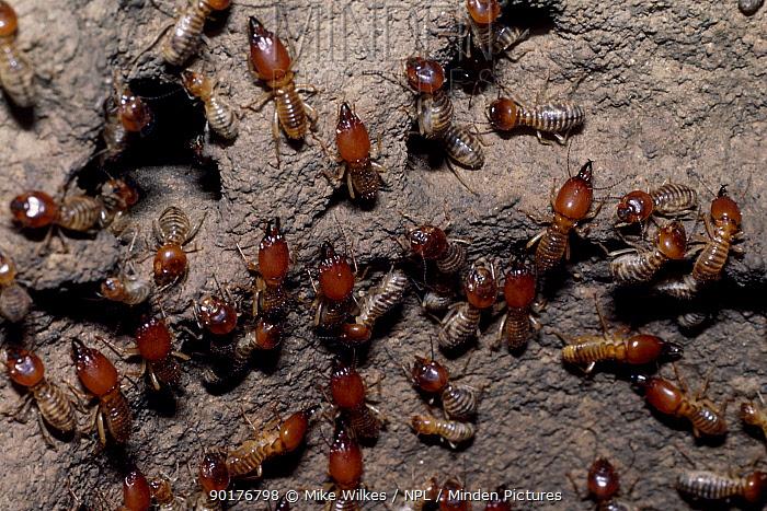 Termites in nest (Isoptera) Kenya  -  Mike Wilkes/ npl