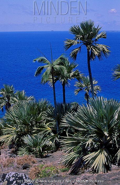 Latan palms (Latania loddigesii) Hurrican palms Round Is Mauritius  -  Nick Garbutt/ npl