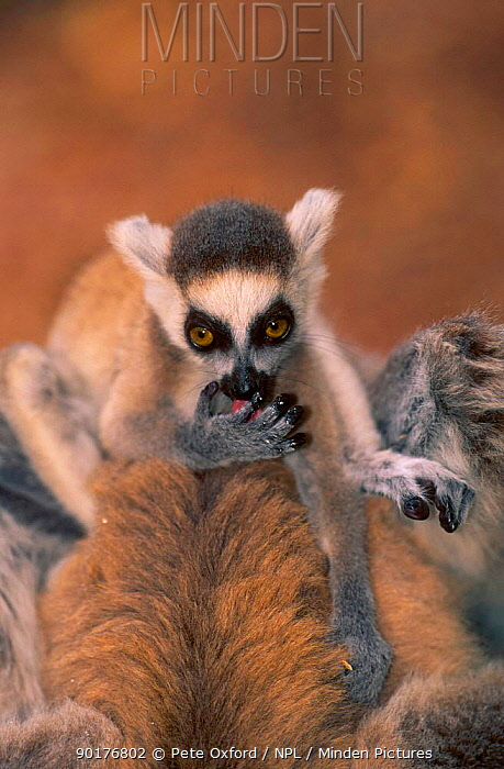 Ring-tailed lemur baby (Lemur catta) licking hand Berenty PR Madagascar  -  Pete Oxford/ npl