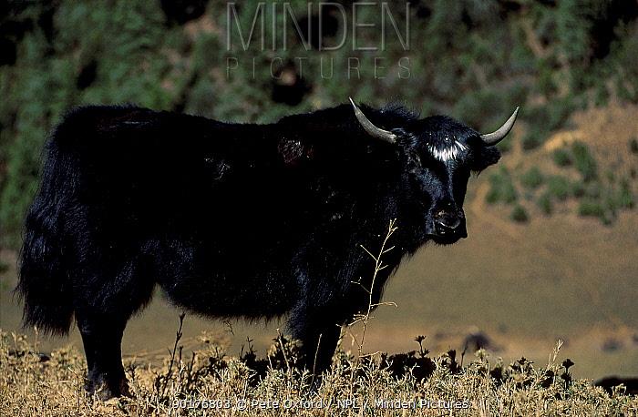 Wild yak amongst Dwarf bamboo (favorite food) (Bos mutus) Pele la Pass Central Bhutan  -  Pete Oxford/ npl