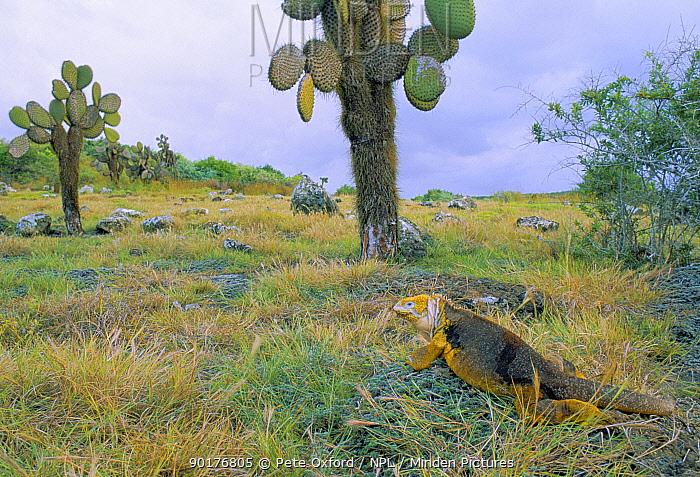 Land iguana and Cactus (Conolophus subcristatus) Fernandina Island, Galapagos  -  Pete Oxford/ npl