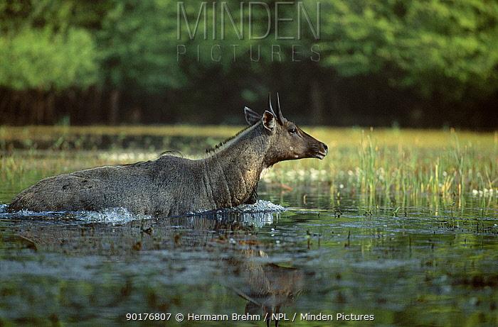 Nilgai in water crossing wetlands (Boselaphus tragocamelus) India  -  Hermann Brehm/ npl