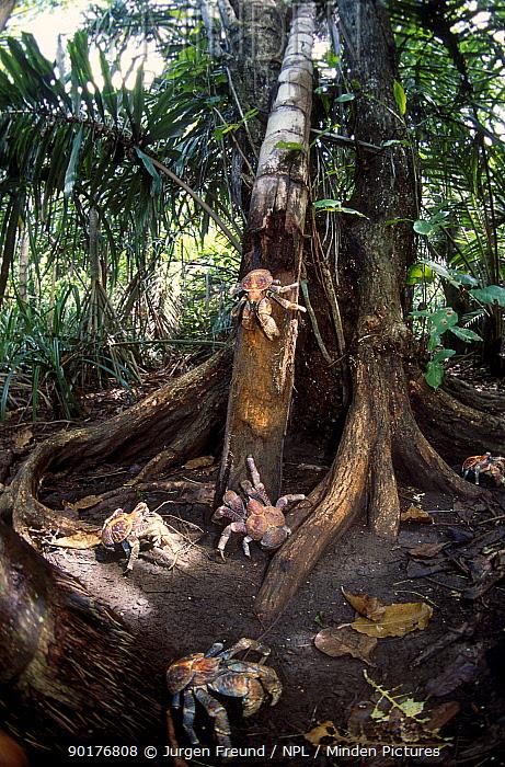 Coconut crabs on tree trunk (Birgus latro) Christmas Island  -  Jurgen Freund/ npl