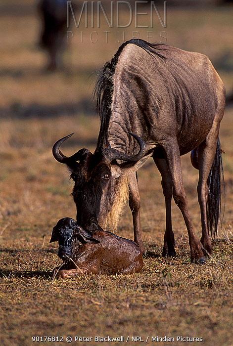 Wildebeest with newborn baby (Connochaetes taurinus) Masai Mara NR Kenya  -  Peter Blackwell/ npl