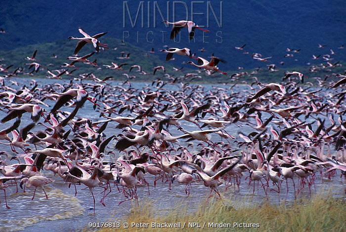 Lesser flamingos taking off (Phoeniconaias minor) Lake Bogoria Kenya  -  Peter Blackwell/ npl