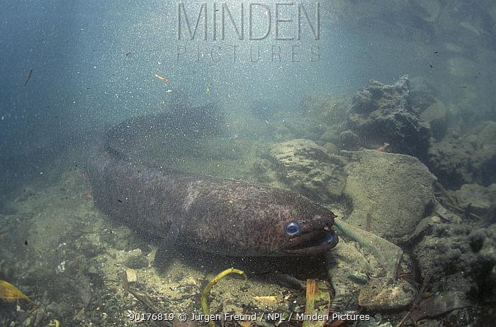 Moray eel in creek (Muraenidae) Ambon Indonesia  -  Jurgen Freund/ npl