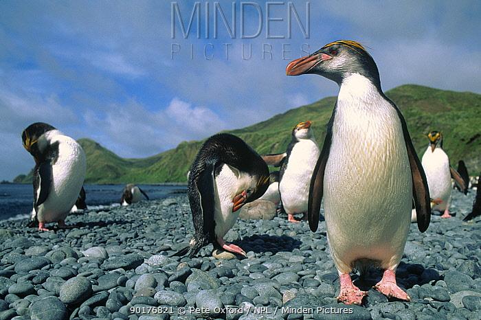 Royal penguins (Eudyptes schlegeli) Macquarie island, Tasmania Sandy bay  -  Pete Oxford/ npl
