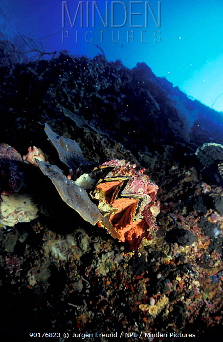 Oyster (Lophia folium) Philippines  -  Jurgen Freund/ npl