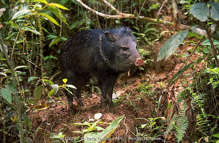 Collared peccary (Tayassu tajacu) captive Amazonia Ecuador  -  Pete Oxford/ npl