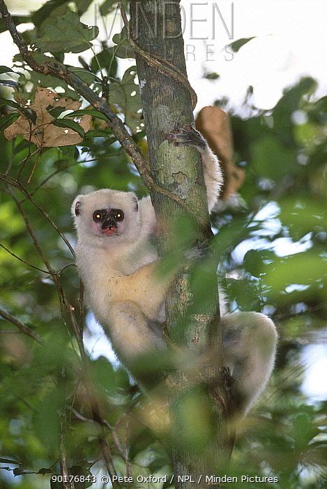 Silky sifaka (Propithecus diadema candidus) Marojejy Reserve Madagascar  -  Pete Oxford/ npl