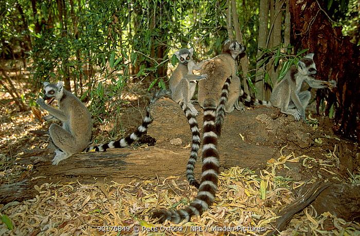 Ring-tailed lemurs in tropical dry forest (Lemur catta) Berenty R Madagascar  -  Pete Oxford/ npl