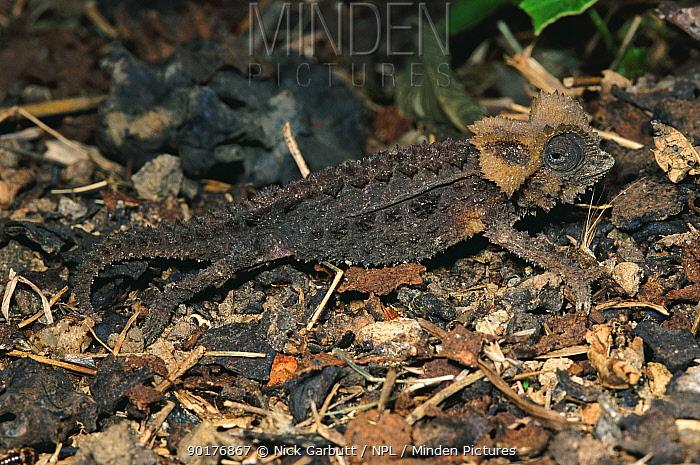 Armoured stump-tailed chameleon on forest floor (Brookesia permeata) Bemaraha, Madagascar  -  Nick Garbutt/ npl