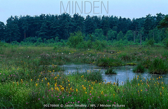 Boggy heathland with Bog asphodel and Cotton grass Thursley common Sussex UK  -  Jason Smalley/ npl
