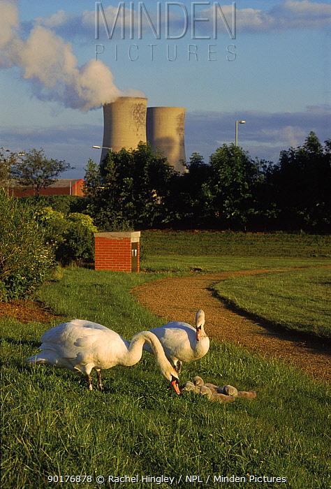 Mute swan pair with cygnets (Cygnus olor) Stockton-on-Tees ICI Plant in b, ground  -  Rachel Hingley/ npl