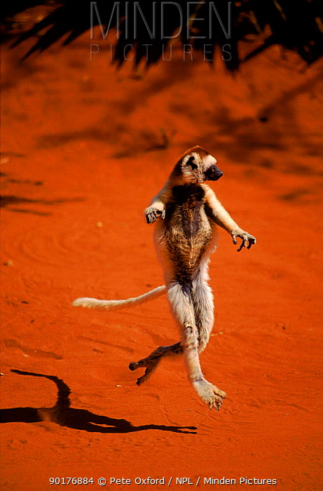 Verreaux's sifaka dancing, Madagascar, Berenty Private Reserve  -  Pete Oxford/ npl