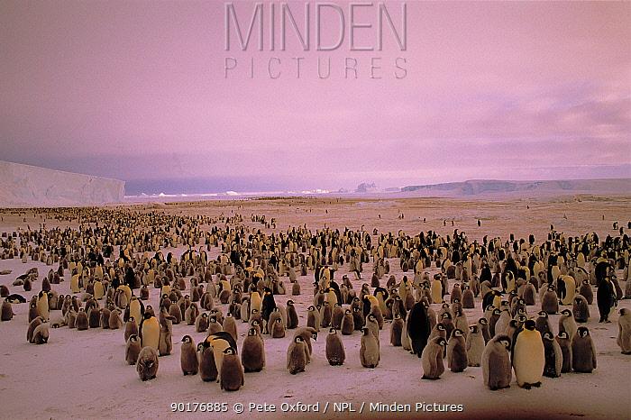 Emperor Penguins (Aptenodytes forsteri) with chicks Weddell Sea, Antarctic, Atka Bay  -  Pete Oxford/ npl