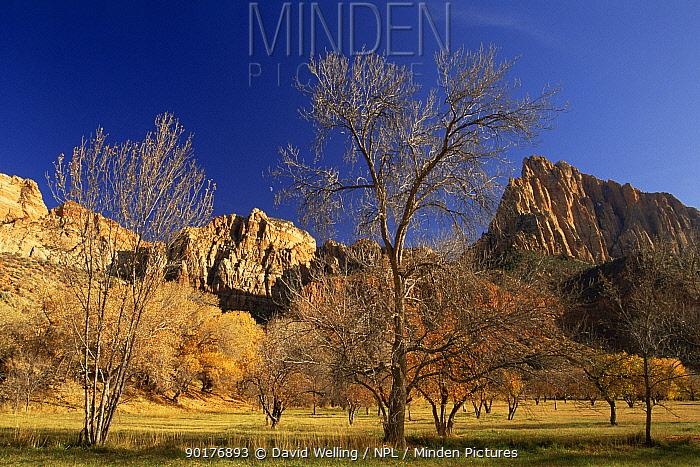 Autumn colours in Zion NP, Utah, USA  -  David Welling/ npl