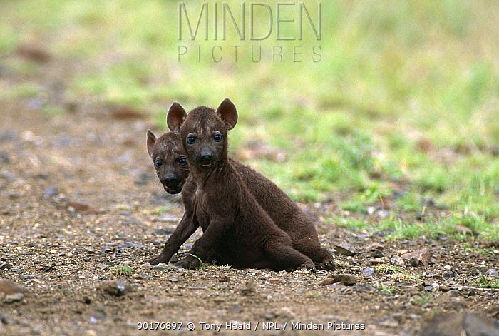 Two Spotted hyaena cubs (Crocuta crocuta) Kruger NP, South Africa  -  Tony Heald/ npl