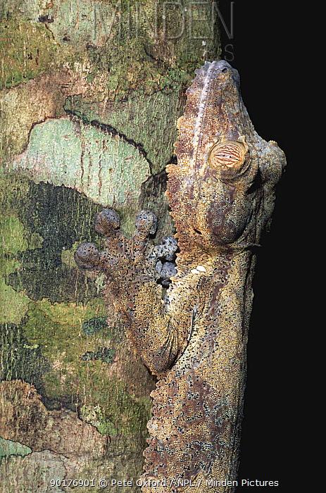 Leaf Tailed gecko camouflaged against tree bark (Uroplatus fimbriatus) Madagascar  -  Pete Oxford/ npl