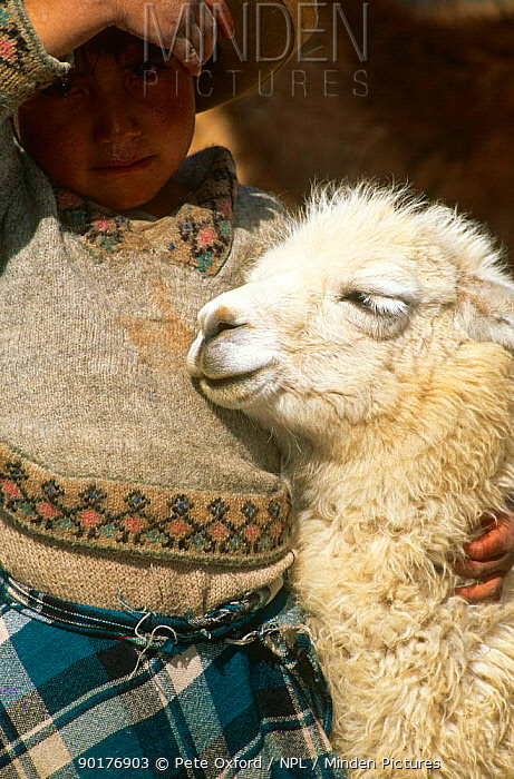 Local indian child with Llama (Lama glama) Cusco, Peru  -  Pete Oxford/ npl