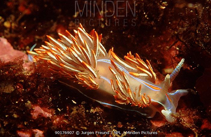 Thick horned aeolid nudibranch, Canada  -  Jurgen Freund/ npl