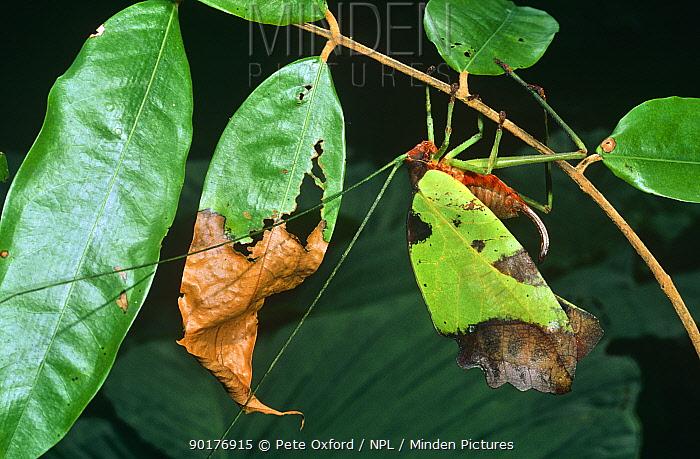 Leaf katydid (Tettigoniidae) disguised as browning leaf, Amazonian Ecuador  -  Pete Oxford/ npl