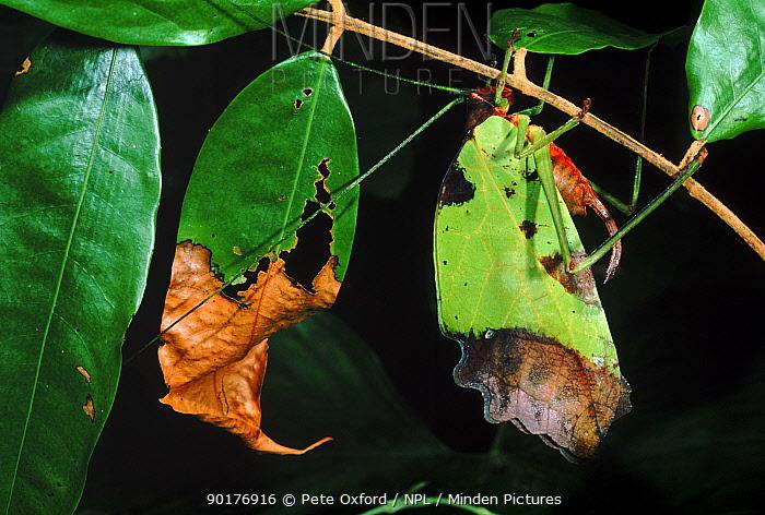 Leaf katydid (Tettigoniidae) disguised as browning leaf Rainforest, Amazonian Ecuador  -  Pete Oxford/ npl