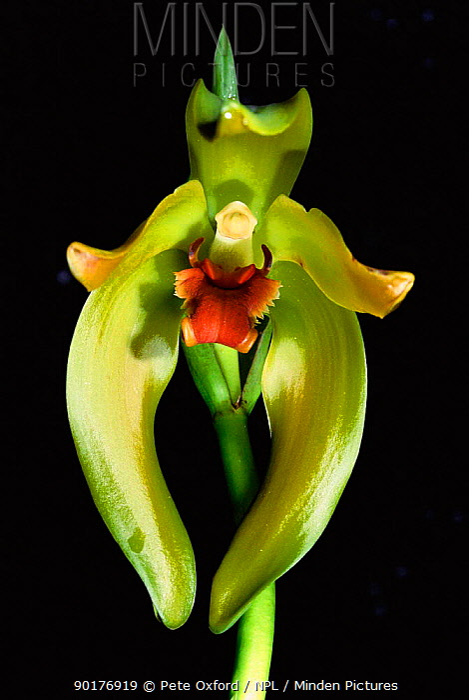 Orchid (Lycaste longipetala) Machu Picchu, Peru, South America  -  Pete Oxford/ npl