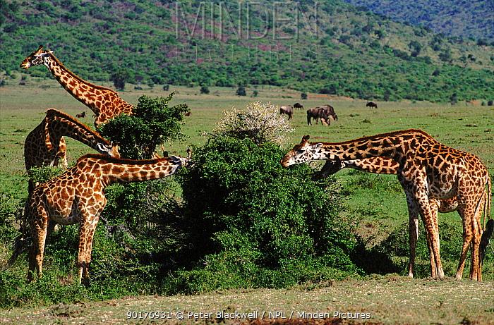 Giraffes feeding on shrub, Masai Mara, Kenya  -  Peter Blackwell/ npl