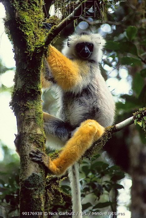 Diademed sifaka in tree, Mantadia NP Madagascar (Propithecus diadema diadema)  -  Nick Garbutt/ npl