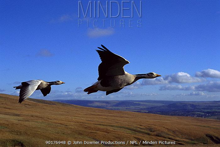 Bar headed geese flying (Anser indicus) imprinted birds  -  John Downer/ npl