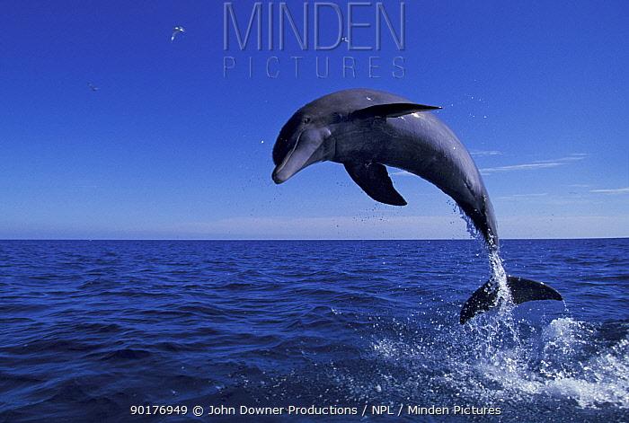 Bottlenose dolphin leaping (Tursiops truncatus) Bahamas  -  John Downer/ npl
