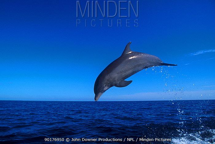 Bottle nosed dolphin leaping, Bahamas  -  John Downer/ npl